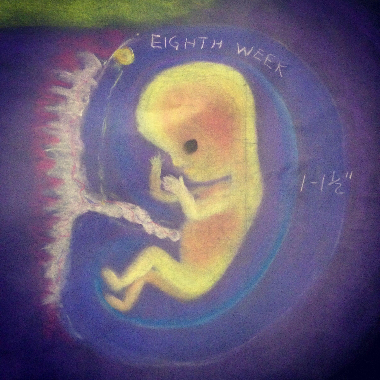 Waldorf 7th Grade Human Physiology Gestation Eighth