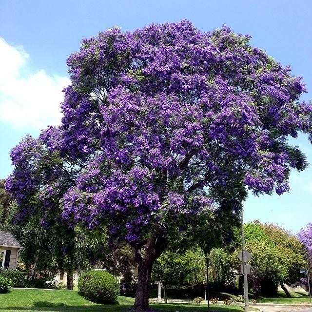 Jacaranda Tree Via Christophe Choo Real Estate Group Coldwell