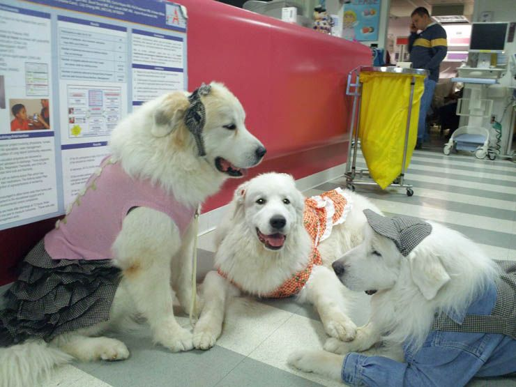Darlington Great Pyrenees com Google: