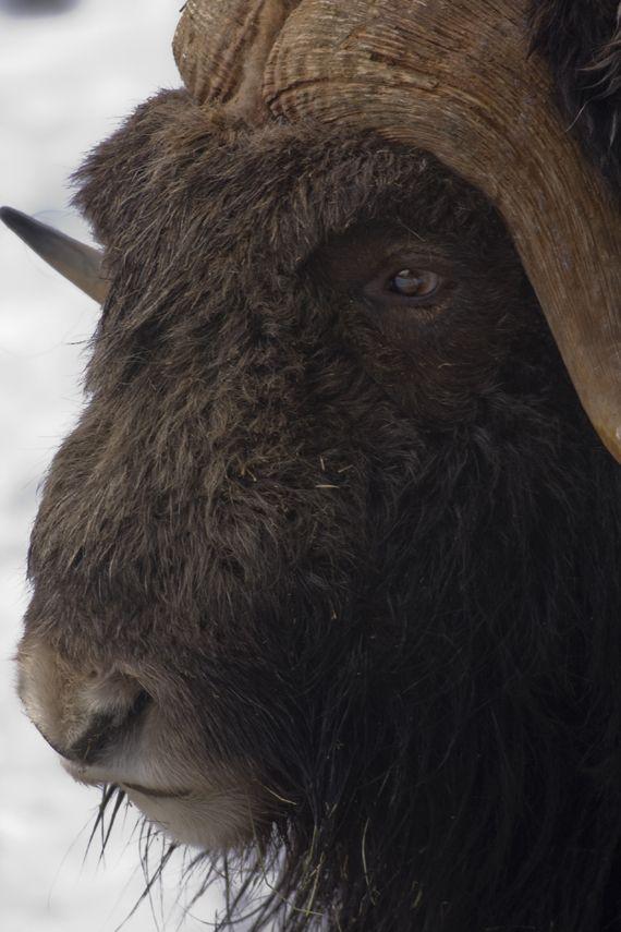 Swedish Myskoxe Muskox Big Animals Musk Ox Animal Paintings