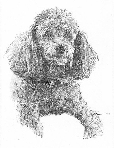 Poodles Drawings In Pencil Google Search Poodle Drawing Dog