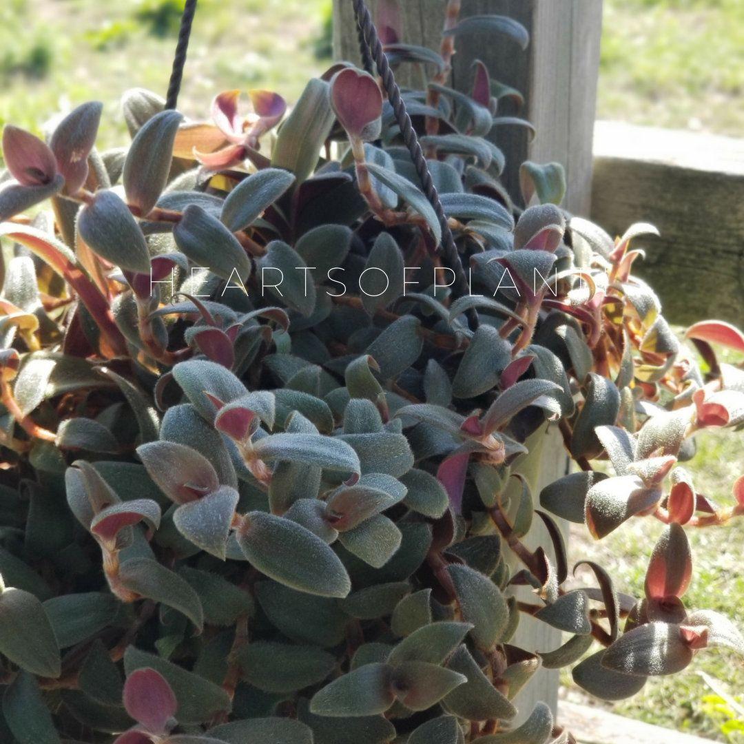 Teddy Bear Vine Cuttings (5) Plant cuttings, Vines