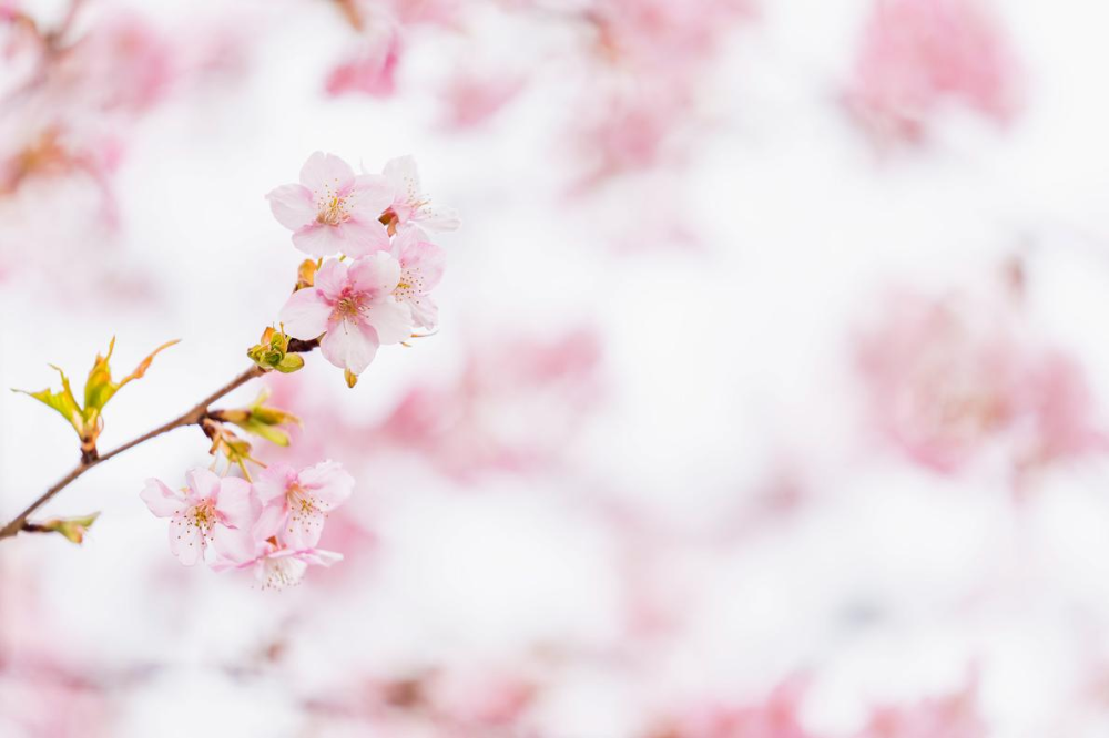 Embrace Spring With These Fleeting Blooms Around The World In 2020 Cherry Blossom Japan Cherry Blossom Art Cherry Blossom