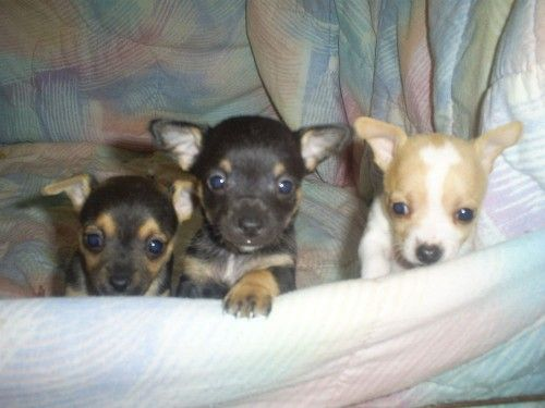 Beautiful Chihuahua Puppies For New Homes Pets For Sale Uk Pet