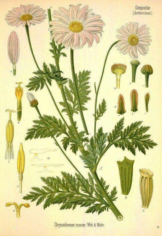 Chrysanthemum. Illustrations taken from 'Köhler's Medizinal-Pflanzen.' Published 1883 Gera-Untermhaus : Fr. Eugen Köhler.
