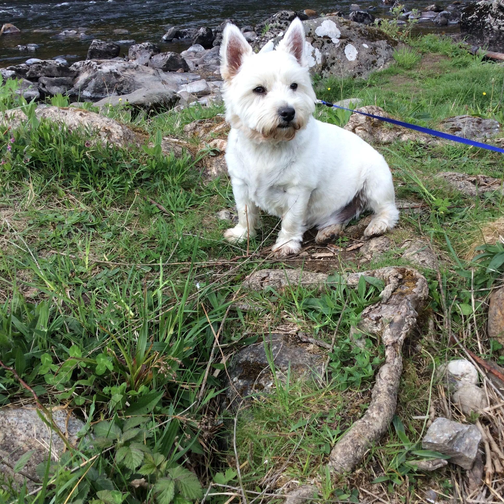 Pin By Kristen Kocen On Nevis White Puppies White Terrier West Highland White Terrier