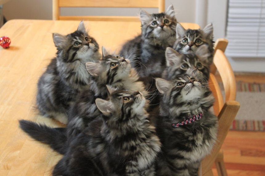 Siberian Kittens For Adoption In Michigan Cute Cat Breed Siberian Cat Adoption Siberian Kittens Angora Cats Siberian Cats For Sale