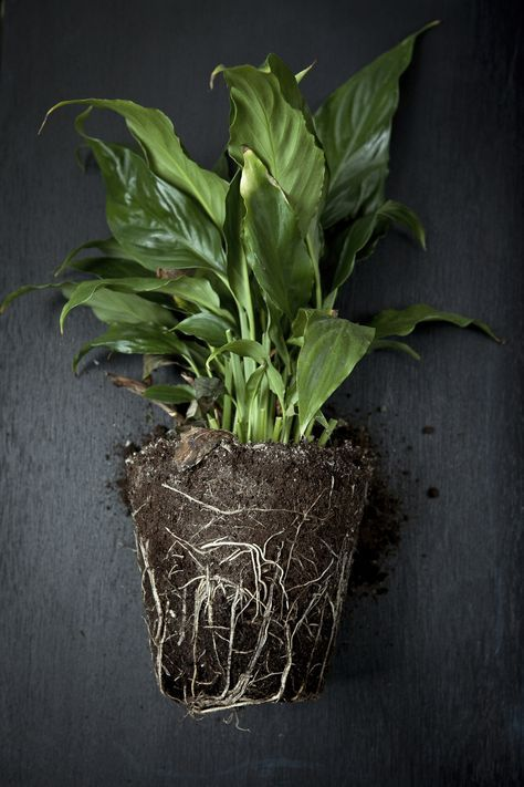 Peace Lily Repotting Learn How And When To Repot Peace Lilies Peace Lily Plant Peace Lily Plant Care Lily Plant Care