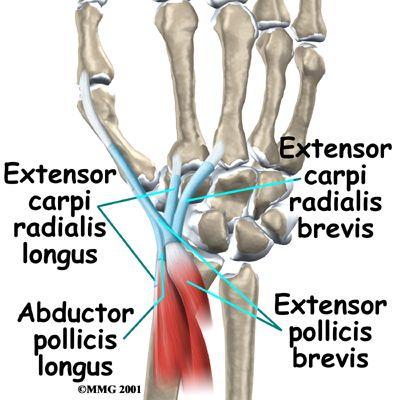 Anatomical \'Snuffbox\': Abductor pollicis longus :: Extensor pollicis ...