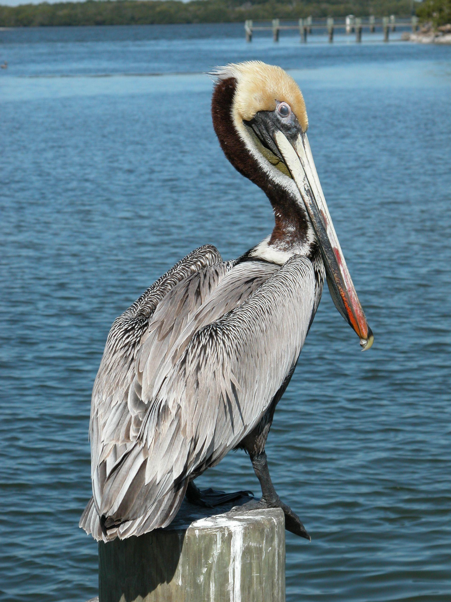 brown pelican charlie banks photography florida sanibel