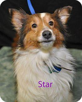 2/6/15 COLUMBUS, OH - Sheltie, Shetland Sheepdog. Meet Stars a Dog for Adoption. from Adoptapet.com