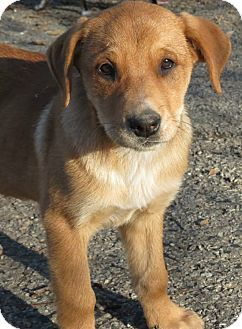 Naugatuck, CT - Labrador Retriever Mix  Meet Adelaide a Puppy for