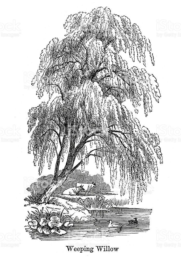 Weeping Willow Tree Drawing Vector Image With Images Tree