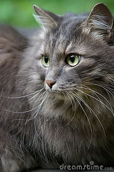 Beautiful Big Grey Cat With Green Eyes By Olgalis Via Dreamstime Grey Cats Cats Beautiful Cats