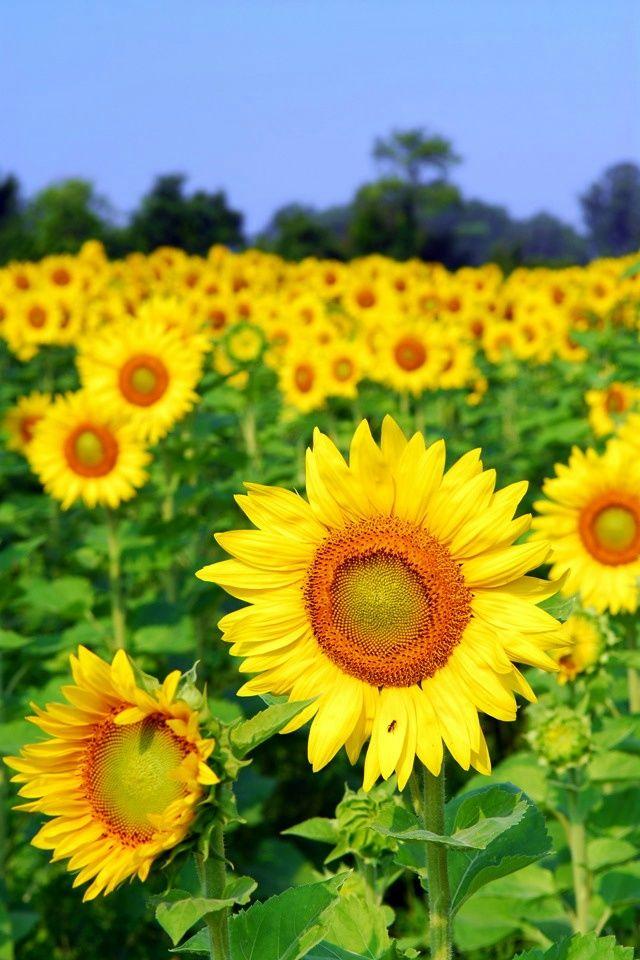 Sunflowers iPhone 4 Wallpaper