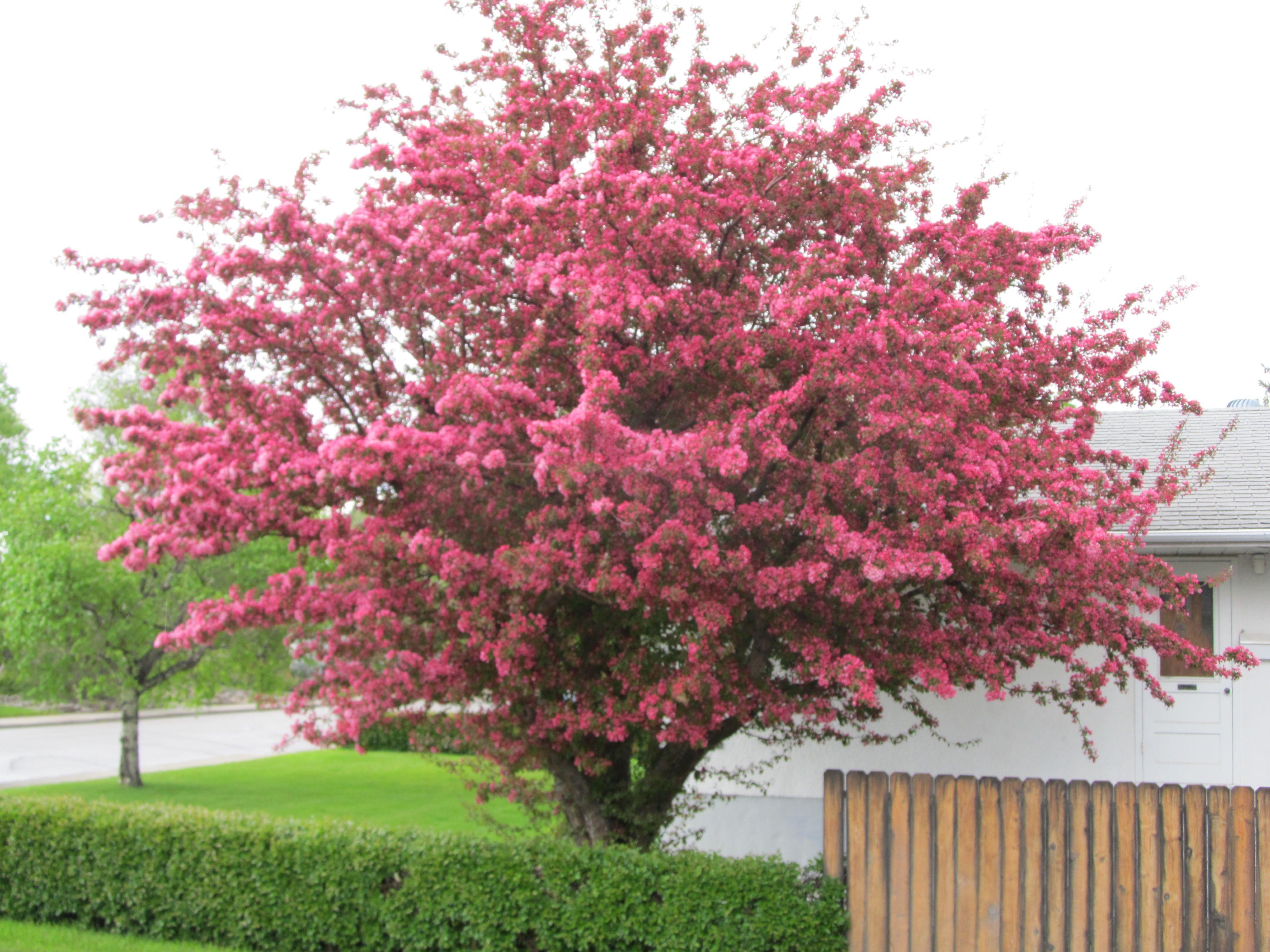 Nanking Cherry Tree In Bloom Calgary Alberta Landscaping Trees Acreage Landscaping Garden Planning