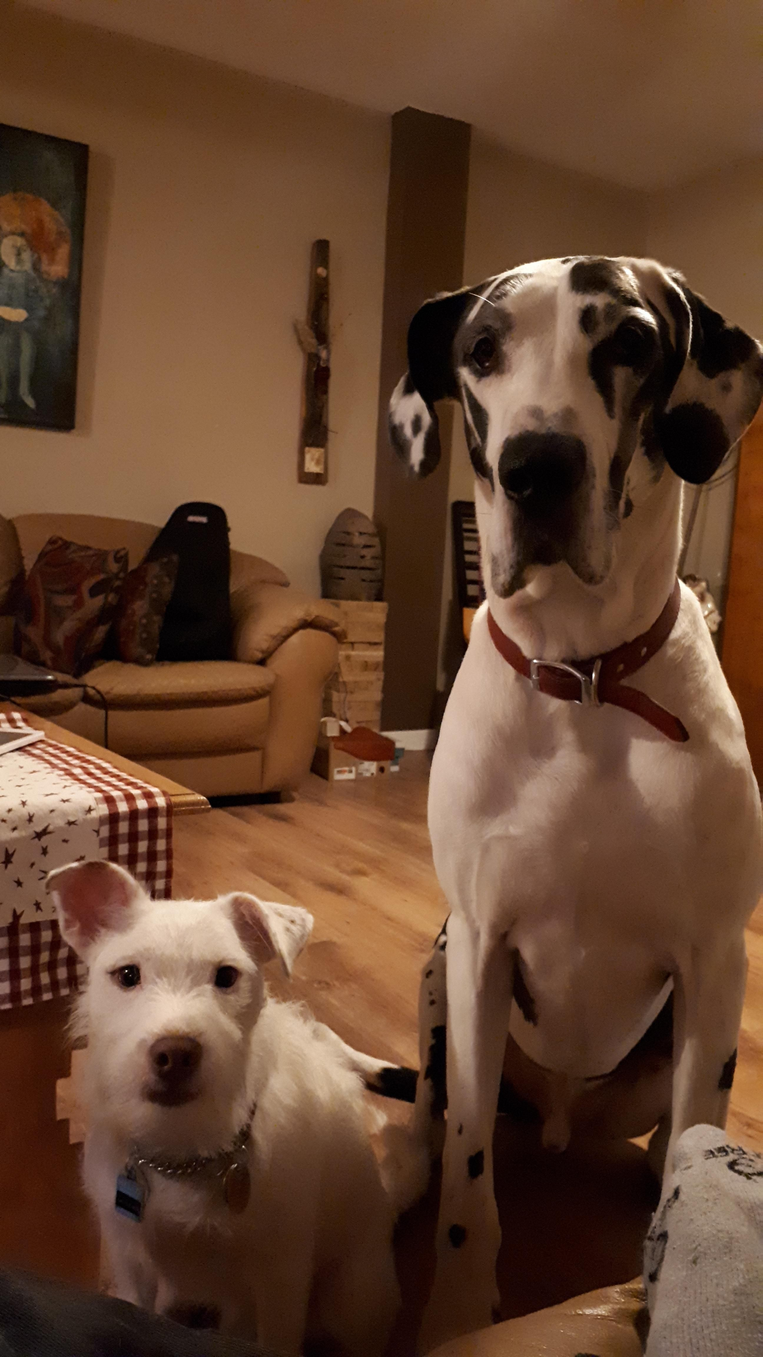 Great Danes Cute Dog Costumes Great Dane Puppy Great Dane Dogs