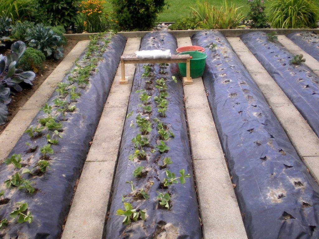 Comment renouveler une plantation de fraises sur b che et nylon planter des fraisiers sans - Comment planter les fraisiers ...