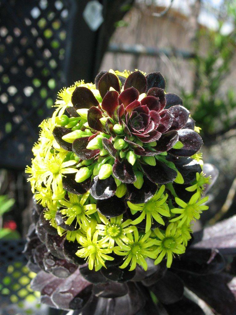 Aeonium Arboreum Succulent Gardening Planting Succulents