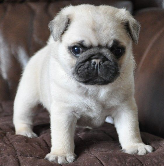 Pug Puppies For Sale Pocono Mountains, PA Pug puppies