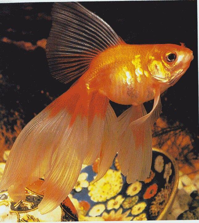 Goldfish Zolotaya Rybka Rybalka Akvariumnaya Rybka