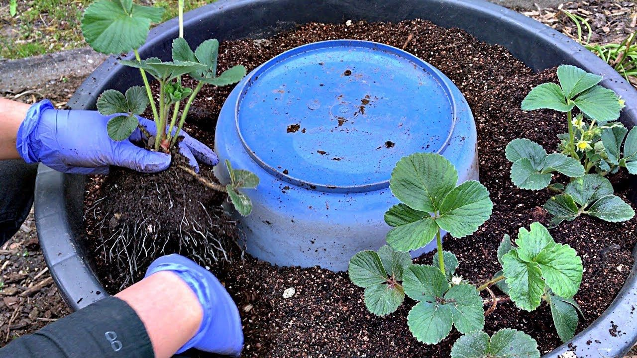 How To Grow Strawberries Growing Strawberry Strawberry