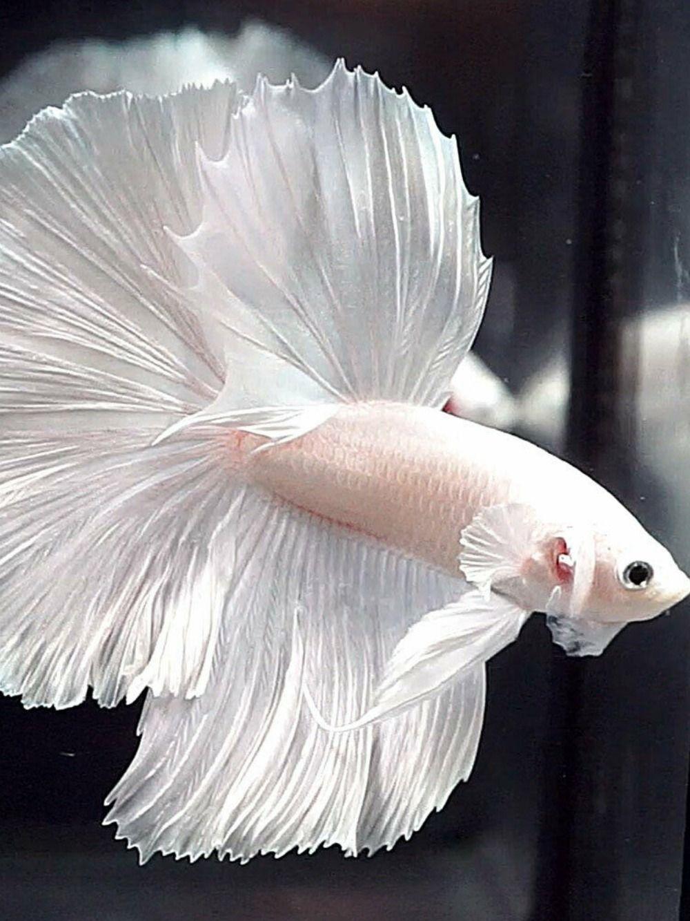 Betta Fish White Platinum Halfmoon Hm Male Betta Fish Betta Fish