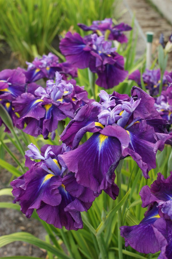Japanese Iris Purple 2 Iris Flowers Types Of Purple Flowers Purple Flowers