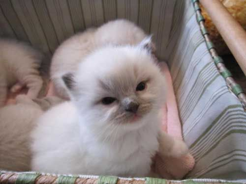 Ragdoll Kittens For Sale Houston Texas Cute Animal Pictures Cute Animals Ragdoll Kittens For Sale