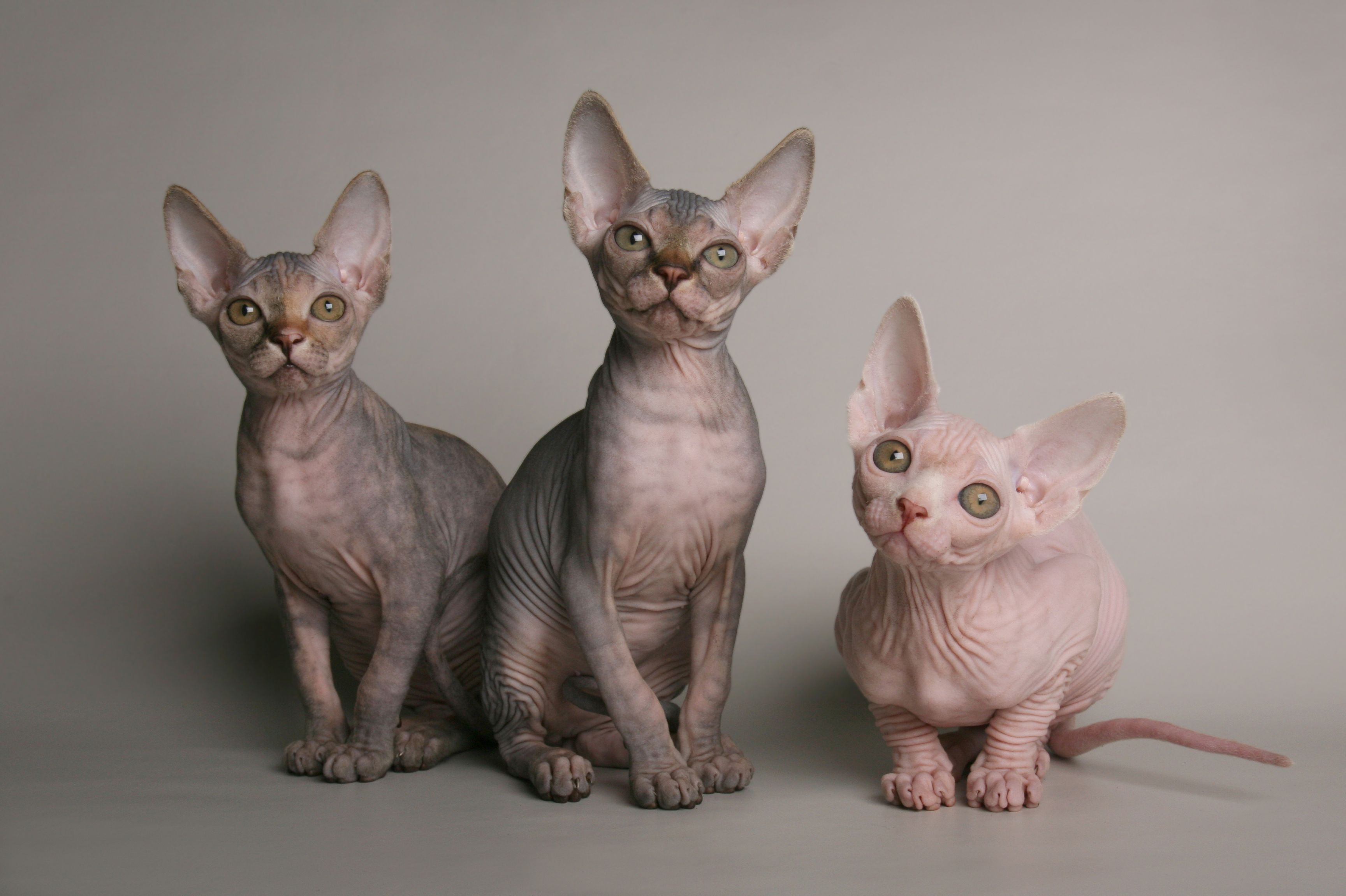 Wrapping up There you have it on how much a Sphinx cat and