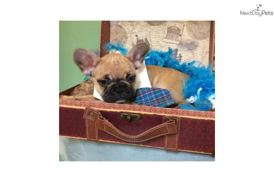 I Am A Cute French Bulldog Puppy Looking For A Home On Nextdaypets Com French Bulldog French Bulldog For Sale Cute French Bulldog