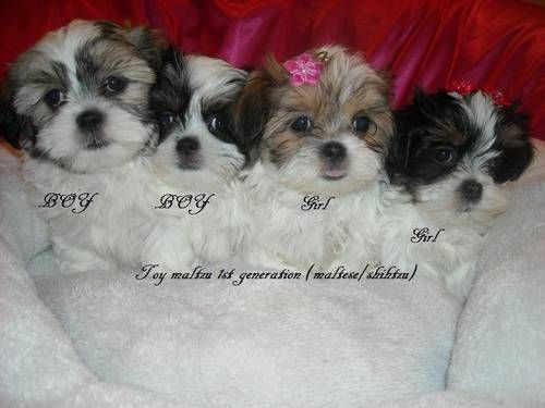 Dogs Puppies For Sale In Detroit Ebay Classifieds Kijiji