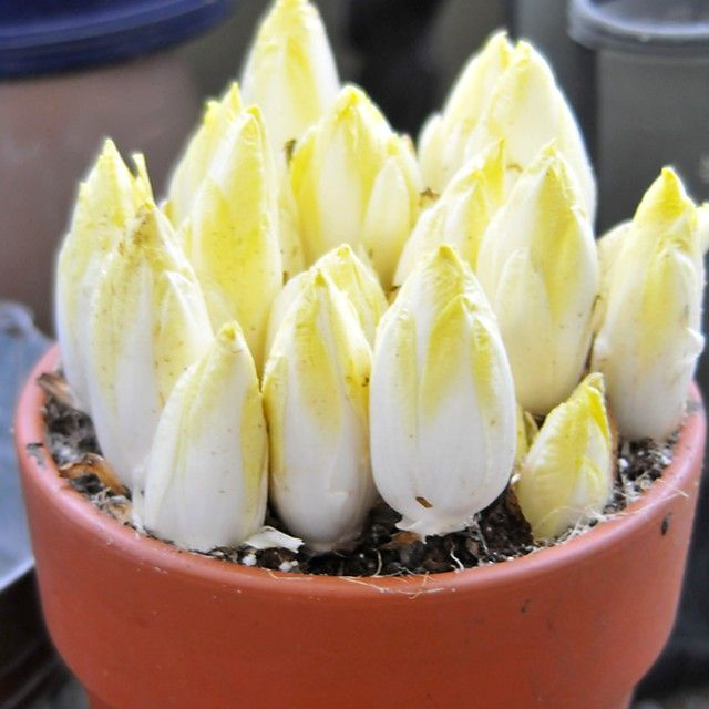 Save Money by Growing Your Own Belgian Endive | eHow Home | eHow