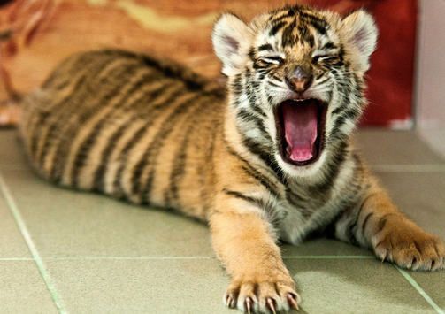 what a cute baby bengal tiger