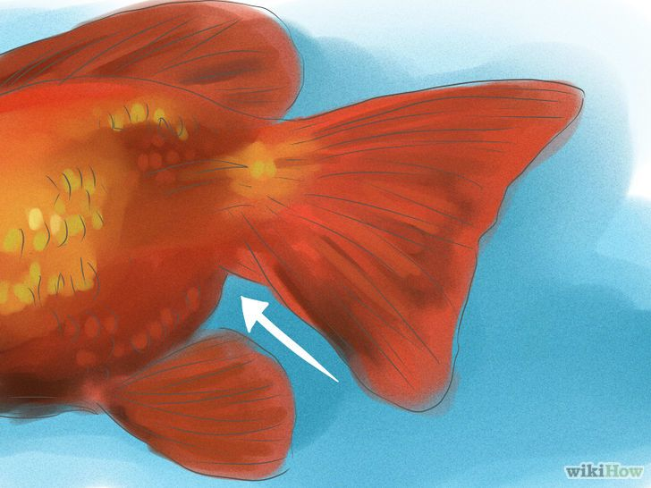 How To Tell If Your Goldfish Is A Male Or Female Goldfish Best Aquarium Fish Colorful Fish