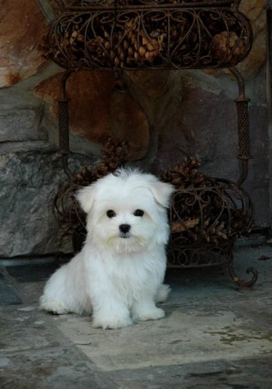 Chrisman Maltese Available Puppy And Puppies Cute Dogs Puppies