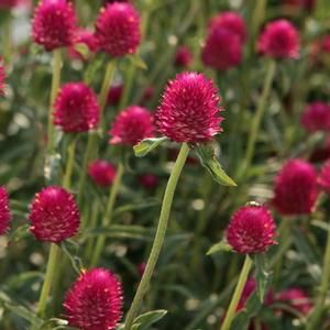 Amazing Buy Gomphrena Forest Pink Annuals Online. Garden Crossings Online Garden  Center Offers A Large Selection