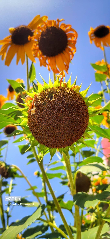 دوار الشمس عباد الشمس باقات زهور مسكات عرايس اكسبلورر وردي زهور انتي باقات ورد ورود جوري Flowers Plants Dandelion