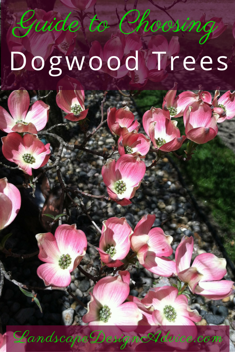 Beautiful Dogwood Trees Dogwood Trees Trees For Front Yard