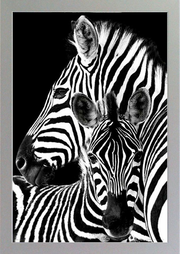 Premium Picture XXL Blockrahmen »Zebras«, 73/103 cm Jetzt bestellen ...