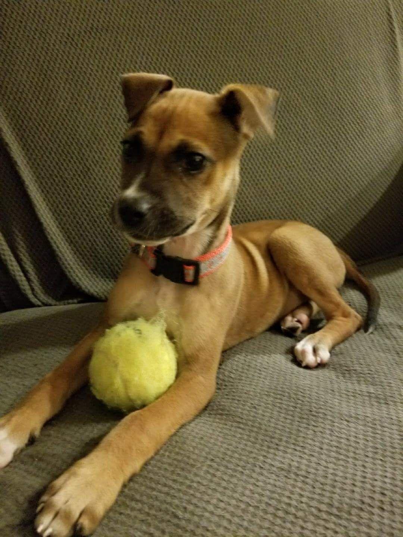 Black Mouth Cur Dog For Adoption In Morganville Nj Adn 714404 On Puppyfinder Com Gender Female Age Baby Black Mouth Cur Black Mouth Cur Dog Dogs