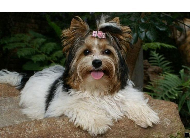 ^^Click on the link for more Yorkshire Terrier Puppies