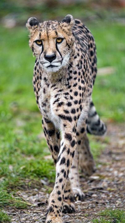 The Latest Iphone11 Iphone11 Pro Iphone 11 Pro Max Mobile Phone Hd Wallpapers Free Download Cheetah Big Cat Face Predator Big Cats Majestic Animals Cats