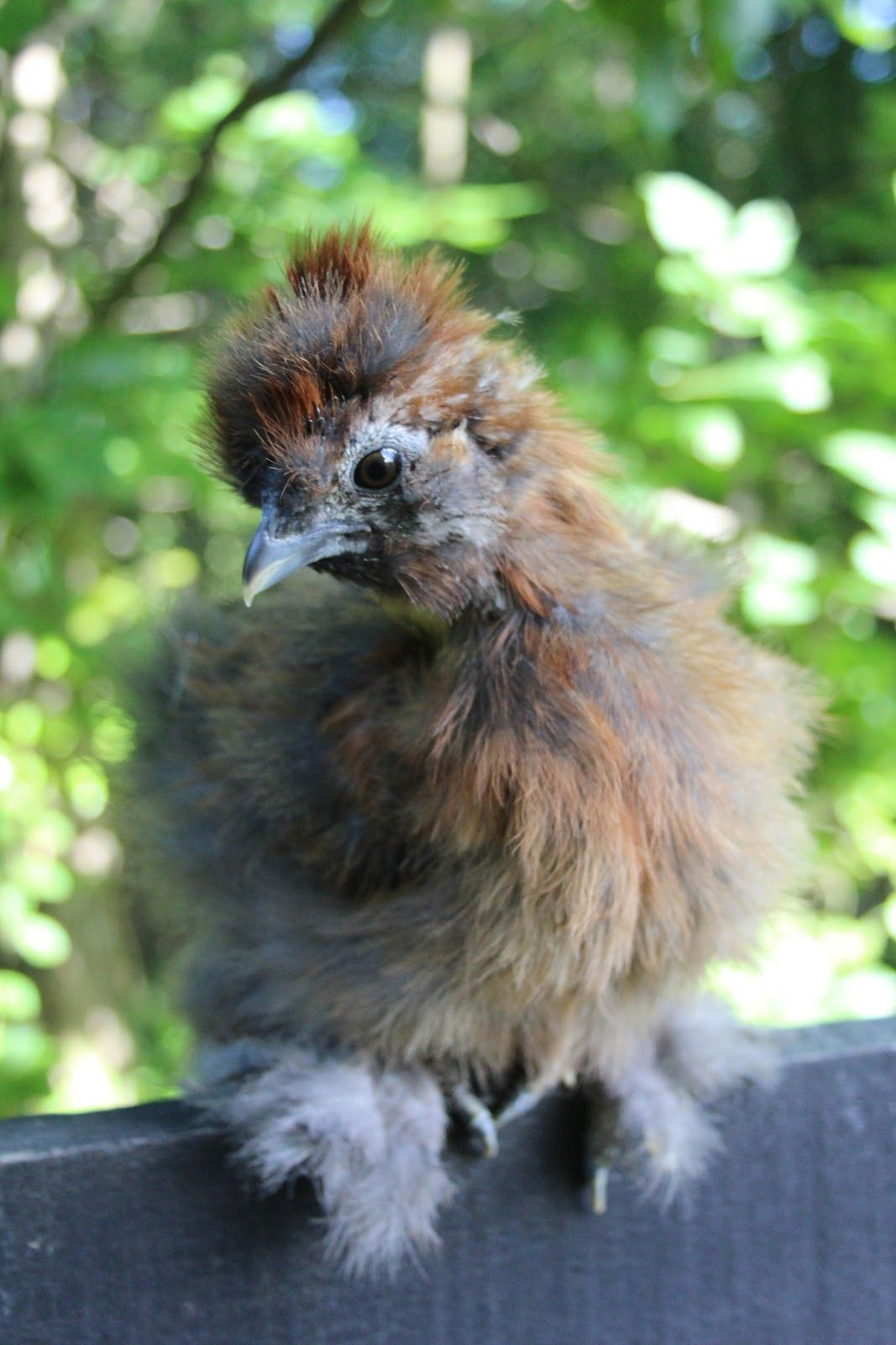 A Chicken A Day | Beautiful chickens, Silkie chickens