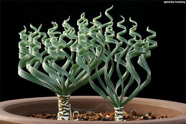 Gethyllis spirallis