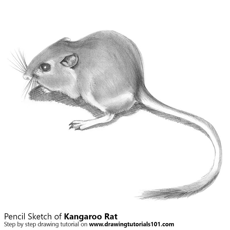 Kangaroo Rat With Pencils Kangaroo Rat Kangaroo Rats