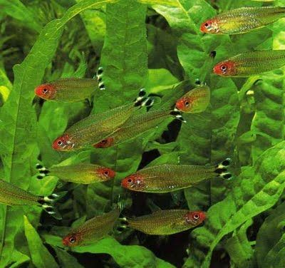 Eisagwges Amazonios Gt Rummy Nose Tetra Hemigrammus Rhodostomus Www Amazonios Gr Fish Tank Plants Fresh Water Fish Tank Tropical Freshwater Fish