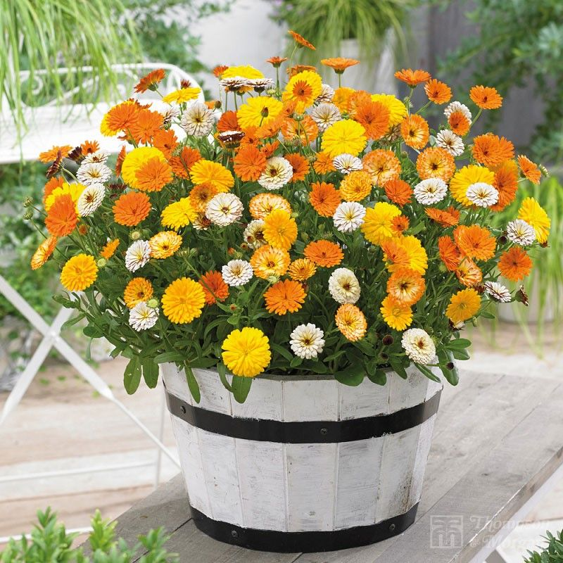 Top 10 Flowers Easy To Grow From Seeds Growing Plants 400 x 300