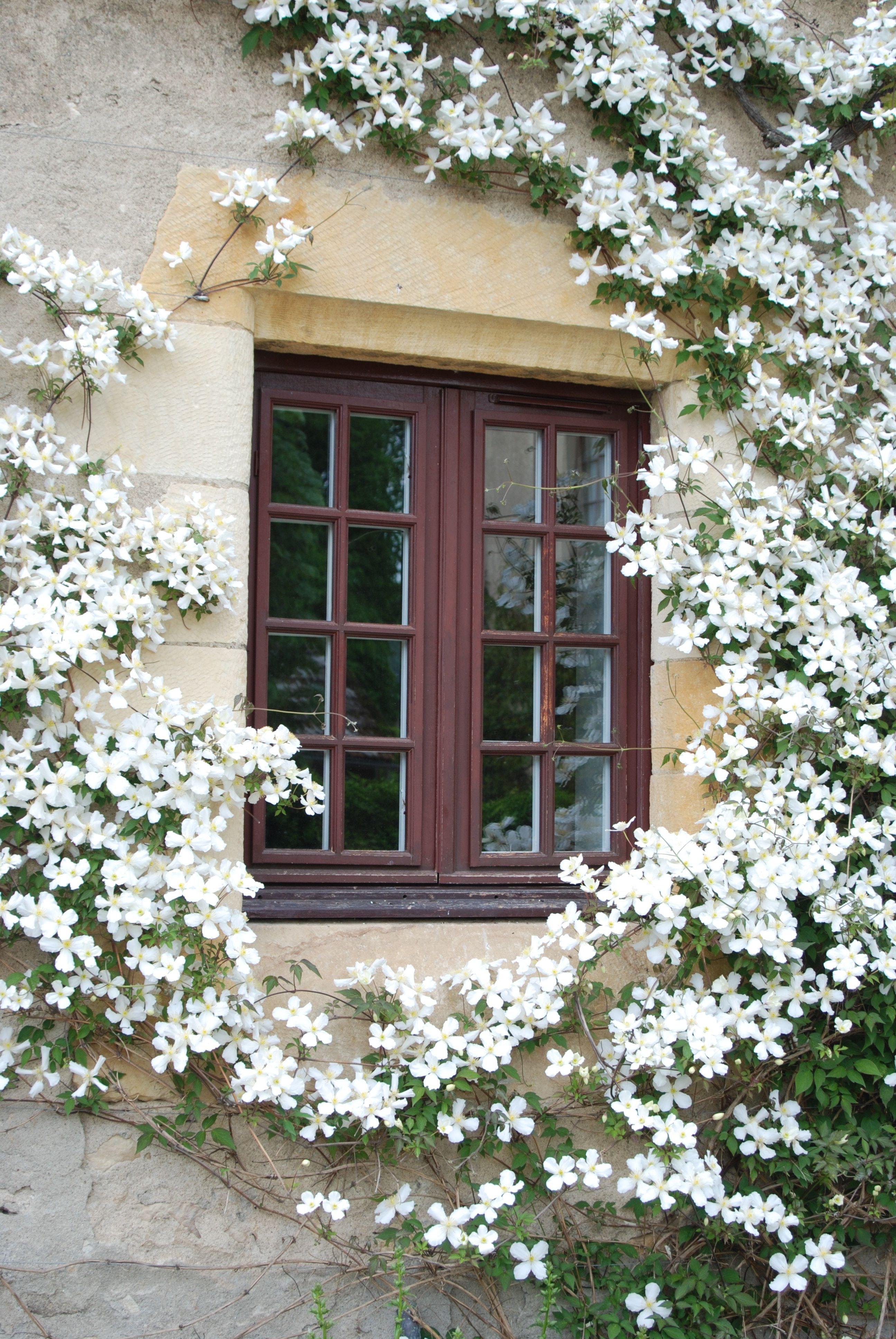 white clematis trained around a window by Rolf Blijleven via www.pithandvigor.com