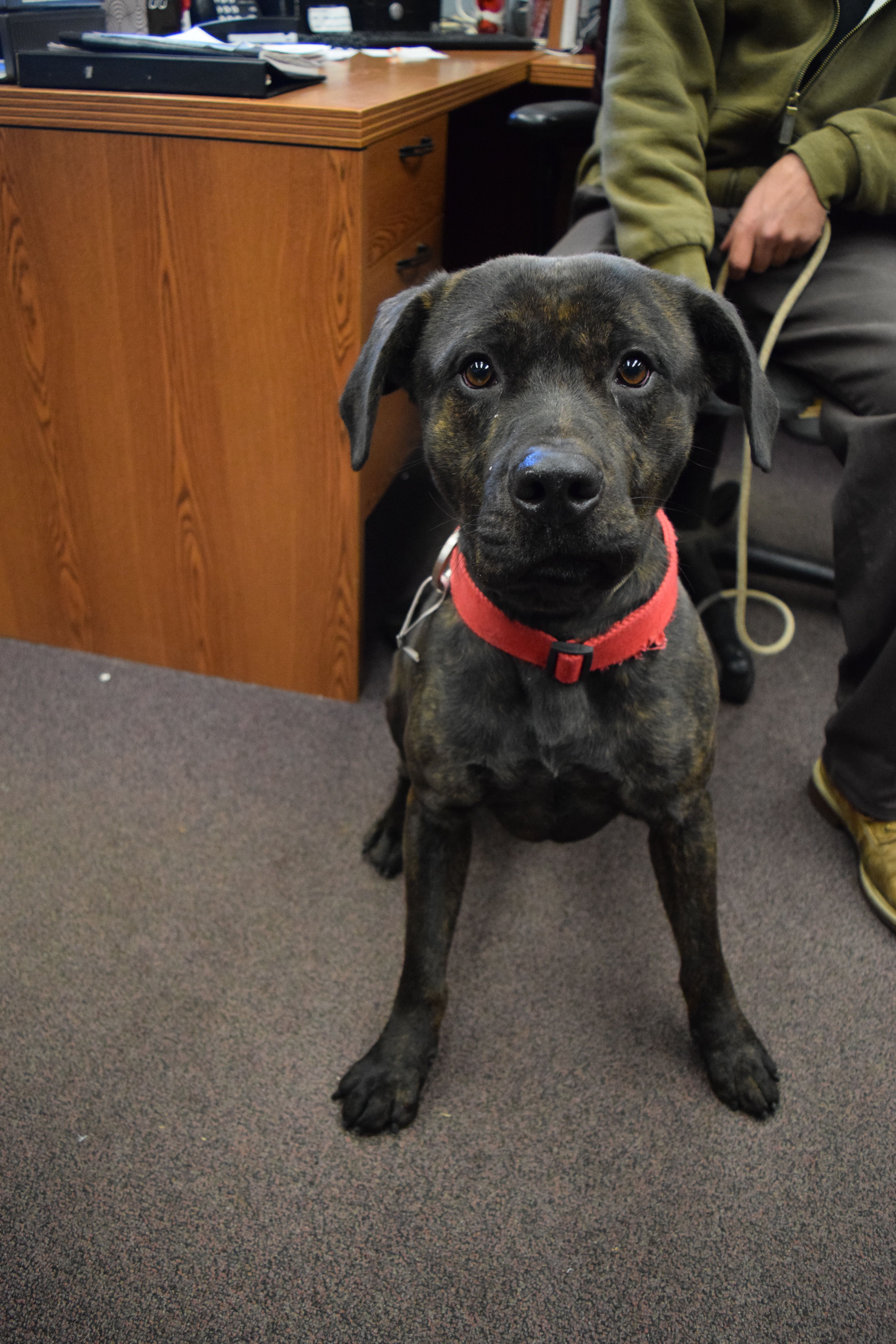 Baby Is An Adoptable Dog Cane Corso Mastiff Mix Searching For A Forever Family Near Bay Shore Ny Use Petfinder To Find Adopta Mastiff Mix Dogs Dog Adoption